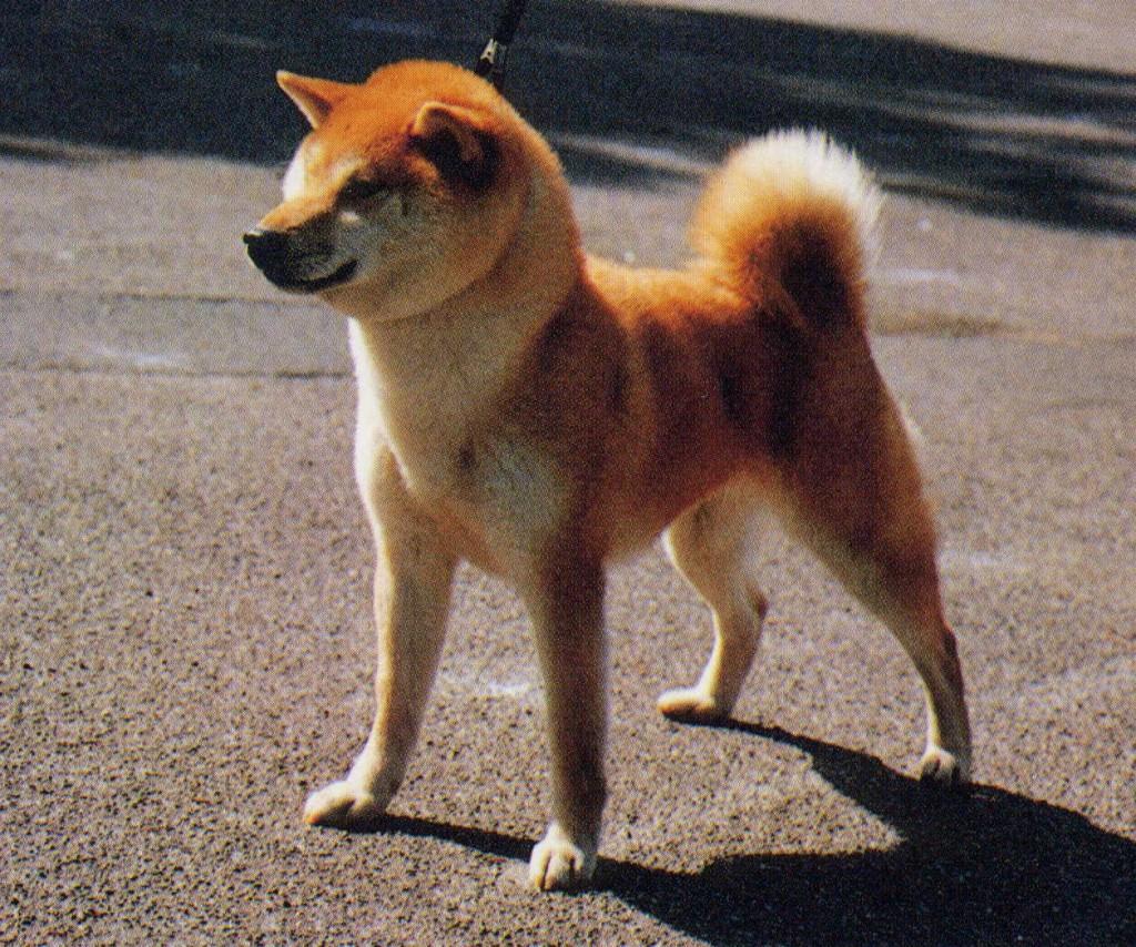 たぬき顔 柴犬