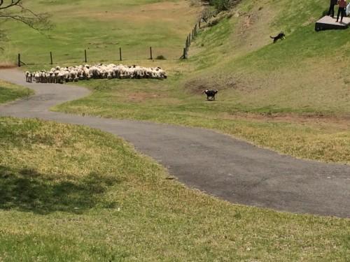 マザー牧場 牧羊犬