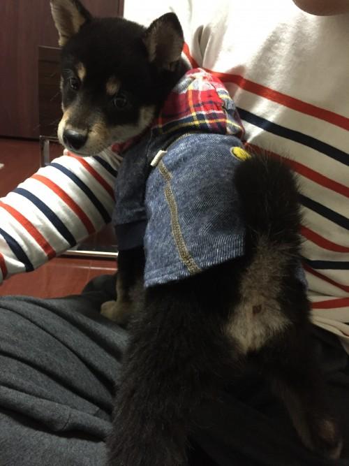 柴犬 洋服