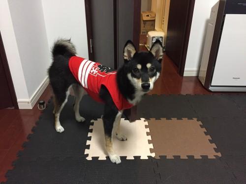 柴犬 番犬