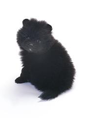 ポメラニアン ブラック
