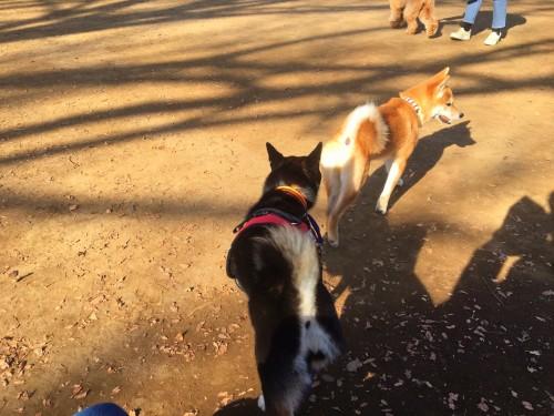 柴犬 代々木公園